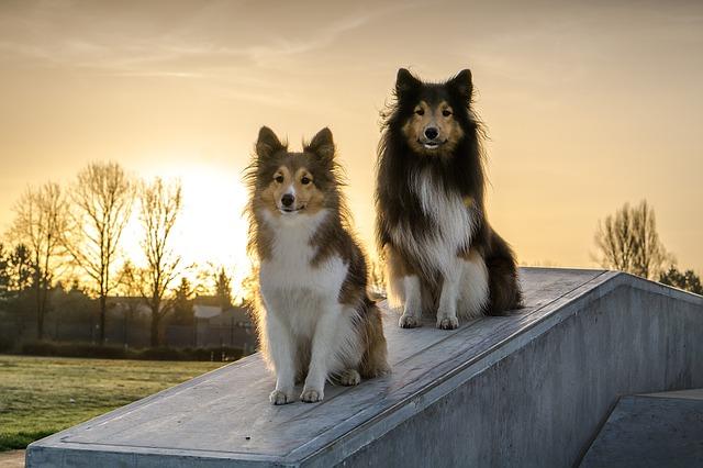 Obéissance chiens