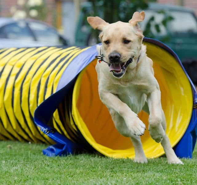 Tunnel agility chien