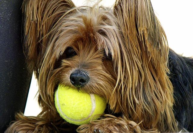 Chien et sa balle de tennis